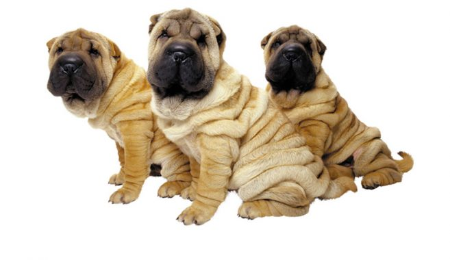 wrinkly_dogs_2